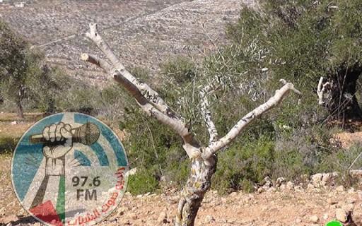 مستوطنون يقطعون 40 شجرة زيتون معمرة جنوب نابلس
