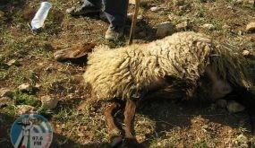 مستوطن يدهس قطيعا من الماشية شرق يطا جنوب الخليل