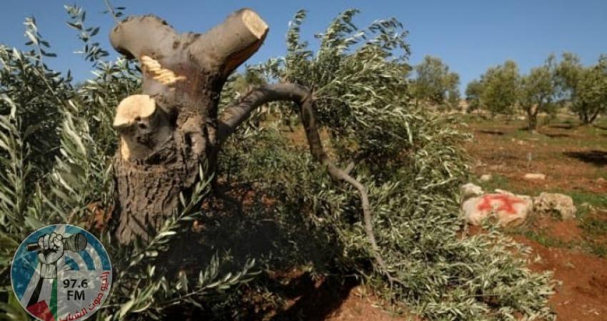 مستوطنون يقطعون 30 شجرة زيتون جنوب نابلس