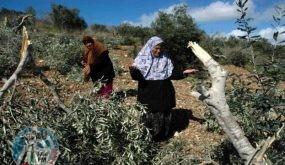 مستوطنون يقطعون أشجار زيتون في جالود