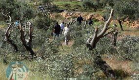مستوطنون يقتلعون 130 شتلة زيتون ويسرقونها جنوب نابلس