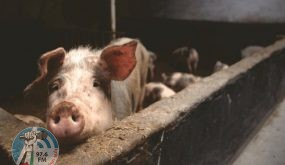 ماليزيا تعتزم ذبح ثلاثة آلاف خنزير عقب رصد أول حالة مصابة بحمى الخنازير الإفريقية